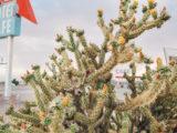 Cacti, Amboy